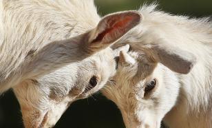 Внимание: энцефалит! Вирус может оказаться в сыром молоке