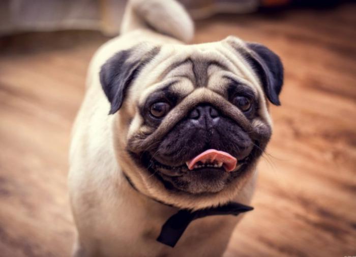 Большая собака в маленьком теле: забавные факты о мопсах