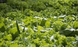 Биолог ответил, опасны ли португальские слизни-гиганты для человека и огорода