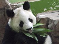 В Китае скончалась самая старая панда в мире.