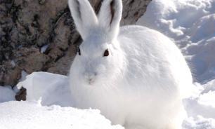 В московские дворы прискакали голодные и замерзшие зайцы