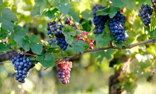 Специалисты рассказали об омолаживающем свойстве винограда