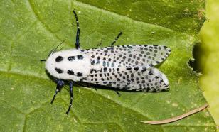 В Азербайджане открыли новый вид бабочек-древоточцев