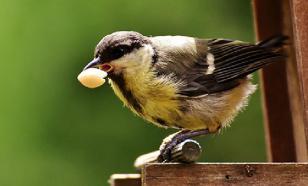 Пьяные птицы устроили погромы в штате Миннесота