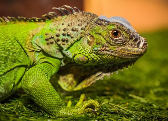Игуана: Зеленый домашний дракон - Домашние животные