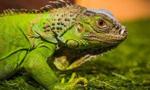 Зеленый домашний дракон
