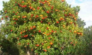 Как вырастить клубнику... на дереве