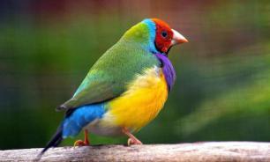 В Австралии с деревьев падают умирающие птицы