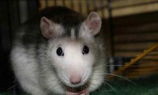 Интеллектуалы дрессируют крыс