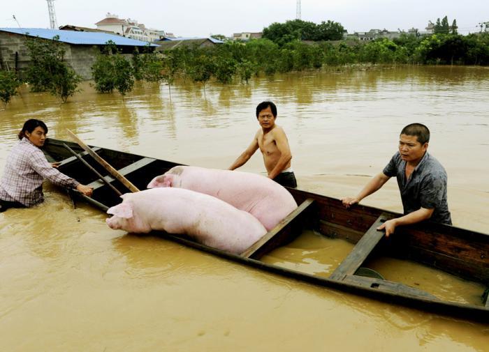 В Китае опасаются вспышки африканской чумы свиней