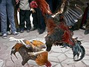 """""""Круговорот"""" насилия в птичьих стаях"""
