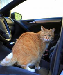 Как путешествовать с кошкой?