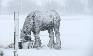 Якуты забивают лошадей из-за сильного снегопада