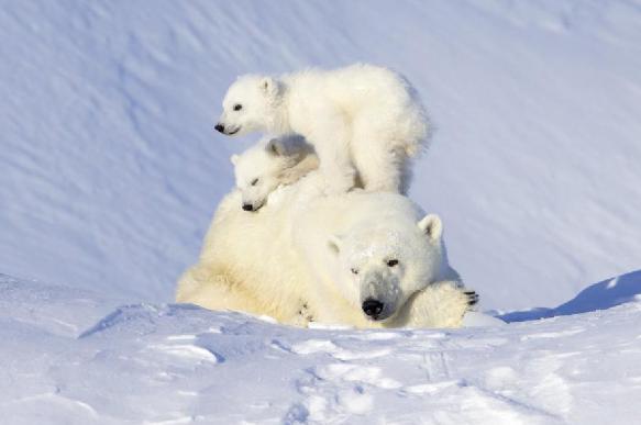 Рацион белых медведей в Арктике на четверть состоит из пластика
