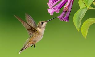 """Орнитологи обнаружили у колибри скрытый от других птиц """"канал связи"""""""