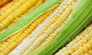 Майя выращивали кукурузу около 6500 лет назад