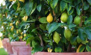 Пять причин, почему не плодоносит лимон