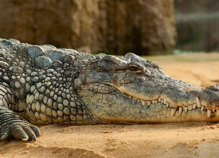 Предки крокодилов приплыли в Америку из Африки