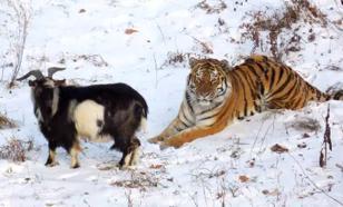"""Юрист: """"Гей-пропаганда"""" от козла и тигра — идиотизм, сравнимый с пожаром"""