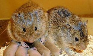 Ученые: пьющая мышь - горе в семье