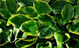 Хоста: применение в дизайне сада, выращивание, уход
