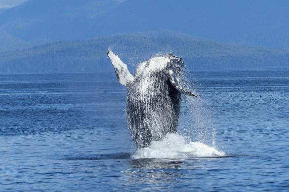 Биологи получили редкие кадры кормления детенышей горбатого кита