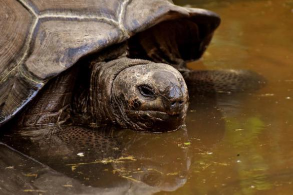 На Галапагосах обнаружены родственники вымерших гигантских черепах