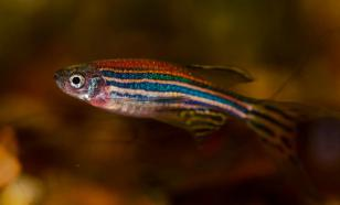 Новосибирские биологи изучают дефицит солнца на рыбках данио-рерио