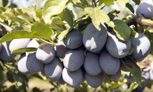 Слива Стенли: урожай в 60 килограммов