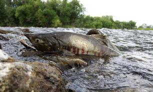 """Морские рыбы спасаются от вымирания на """"морских огородах"""""""