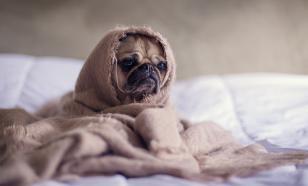 Мопсы и бульдоги болеют чаще, чем собаки других пород