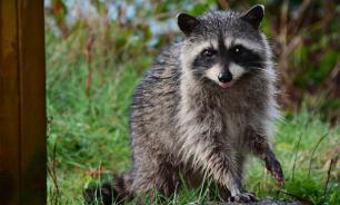 В контактном зоопарке Екатеринбурга енот напал на девочку