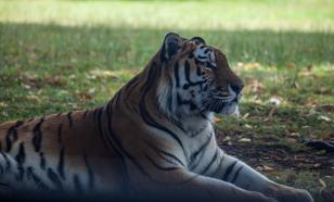 Тигр загрыз охотника в Хабаровском крае