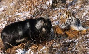 Дружбу козла Тимура и тигра Амура показали сиротам