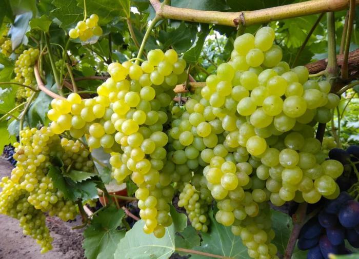 Кишмиш 342: виноград без хлопот