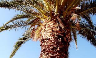 В Израиле вырастили финиковые пальмы из семян возрастом 2000 лет