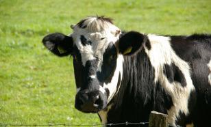 В Пермском крае неизвестный вирус погубил 78 коров