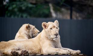 Смотрительницу австралийского зоопарка растерзали львы
