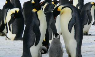 За последние 50 лет популяция пингвинов сократилась на 58%