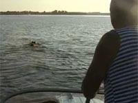 Кабан-пловец распугал рыбаков на Волге (+видео).
