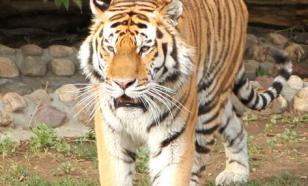 В индийском городке тигр устроил охоту на людей