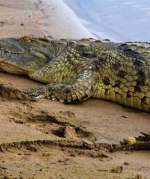 Крокодилы на Второй Мировой: как японские солдаты погибли в челюстях рептилий