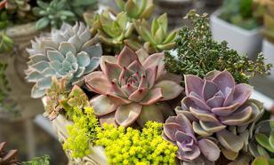 Пять необычных суккулентов для вашего зимнего сада