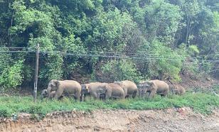 """Стадо слонов, гуляющее по Китаю, """"нагрело"""" фермеров на миллион долларов"""
