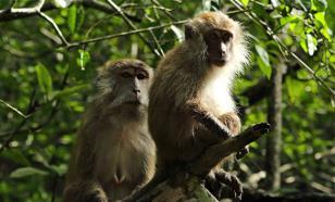 Контрацептив для мужчин: обезьяны уже проверили