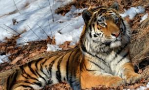 Ученых удивило дружелюбие амурского тигра