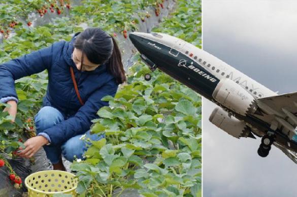 Спасать урожай фруктов в Британии будут румынские гастарбайтеры