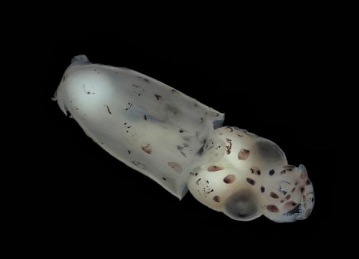 Американские генетики смогли сделать кальмаров бесцветными