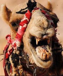 В Саратове обнаружен бешеный верблюд