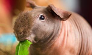 Лысые морские свинки: история возникновения и породы